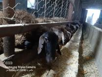 30 راس گوسفند قزل افشاری  در شیپور