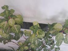 گل خوش رنگ  در شیپور