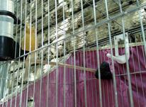ماده قناری و سهره ماده آماده در شیپور-عکس کوچک