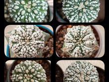 ده عدد کاکتوس ، آستریاس سوپرکابوتو در شیپور