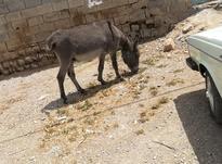 خر جوان نر سرعت و حرکت عالی و زرنگ در شیپور-عکس کوچک