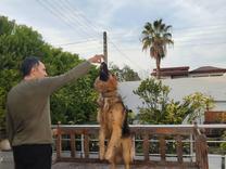 سگ نر ژرمن شپرد یک ساله در شیپور
