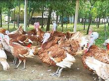 فروش تخم نطفه دار بوقلمون،قرقاول،مرغ شاخدار،اردک و مرغ در شیپور