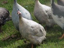 فروش تخم نطفه دار مرغ شاخدار و بوقلمون ،اردک و قرقاول در شیپور