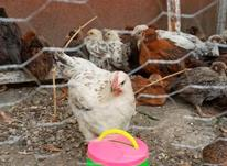 جوجه گلپایگان 65روزه در شیپور-عکس کوچک