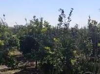 فروش زمین کشاورزی 11700 متر در بهنمیر در شیپور-عکس کوچک