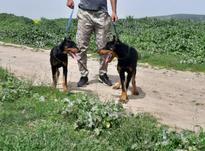 سگ بازی گوش و سرحال واکسینه شده  در شیپور-عکس کوچک