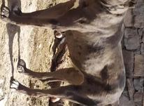 توله سگ ماده نژاد دار  در شیپور-عکس کوچک