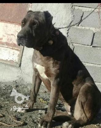توله سگ ماده نژاد دار  در گروه خرید و فروش ورزش فرهنگ فراغت در خراسان رضوی در شیپور-عکس2
