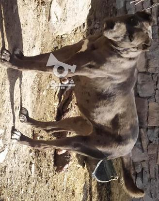 توله سگ ماده نژاد دار  در گروه خرید و فروش ورزش فرهنگ فراغت در خراسان رضوی در شیپور-عکس1