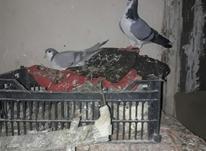نروماده فروشی به ضمانت تخم در شیپور-عکس کوچک