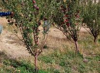 باغ میوه مکان اطراف تیکمداش روستای نوساله  در شیپور-عکس کوچک
