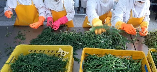 سبزی قورمه ، پیازداغ و سیرداغ در گروه خرید و فروش خدمات و کسب و کار در تهران در شیپور-عکس1