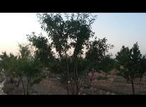 باغ وزمین بادام در شیپور-عکس کوچک