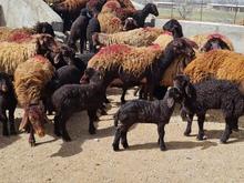 گوسفند افشار و قزل افشار زنجان در شیپور
