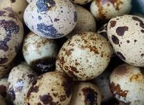 تخم نطفه دار بلدرچین و خوراکی در شیپور-عکس کوچک