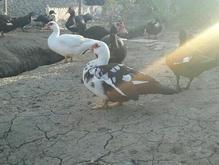 اردک ماده اسراعیلی در شیپور
