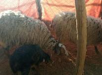 سه عدد گوسفند دو رگه رومانف در شیپور-عکس کوچک