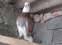 فروش کبوتر نر آث در شیپور-عکس کوچک