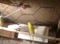 مرغ عشق ماده در شیپور-عکس کوچک