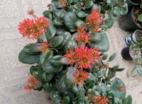 آگلونما سبز با گلدون سفالی و گل کالاوانکوه  در شیپور-عکس کوچک