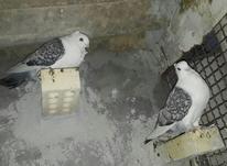 کبوتر بلژیکی در شیپور-عکس کوچک