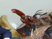 خروس لاری اصیل  در شیپور