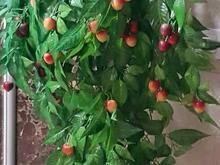 درختچه گیلاس و انگور و  سبد گل خارجی  در شیپور