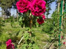نوین خدمات مهندسی باغبانی فضای سبز باغبان سمپاشی در شیپور
