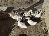 اردک فروشی در شیپور-عکس کوچک