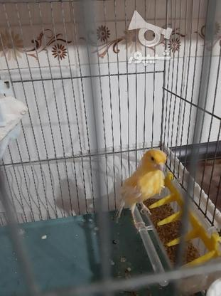 قناری نر زرد در گروه خرید و فروش ورزش فرهنگ فراغت در خوزستان در شیپور-عکس7
