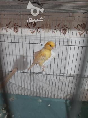 قناری نر زرد در گروه خرید و فروش ورزش فرهنگ فراغت در خوزستان در شیپور-عکس5