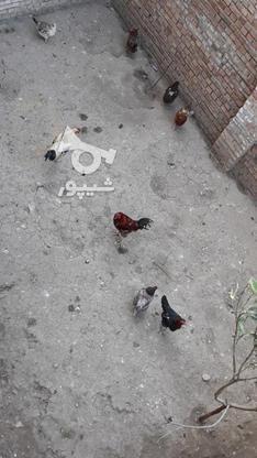 مرغ خروس ها از جوجه دسته خودم بوده  در گروه خرید و فروش ورزش فرهنگ فراغت در گلستان در شیپور-عکس1