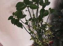 گل ستون فقرات  در شیپور-عکس کوچک