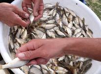 فروش عمده بچه ماهی در شیپور-عکس کوچک