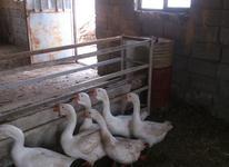 غاز - تخم نطفه دار قوغاز اکراینی و آفریقایی در شیپور-عکس کوچک