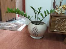 فروش گل زامفولیا با گلدون در شیپور