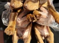 فروش توله دوبرمن بلوطی در شیپور-عکس کوچک