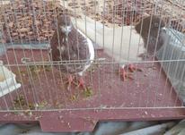 دو عدد کبوتر نر و ماده  در شیپور-عکس کوچک