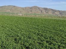 فروش زمین کشاورزی بارانی خمیس اباد در شیپور
