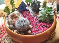 دیش گاردن طبیعی کاکتوس و ساکولنت در شیپور-عکس کوچک