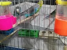 مرغ عشق ماده بالغ در شیپور