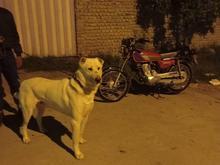 سگ گله.نگهبان. در شیپور