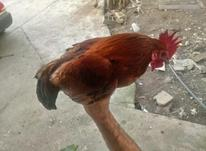 خروس مینیاتوری، در شیپور-عکس کوچک