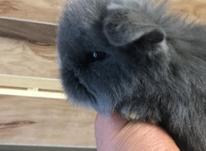 توله خرگوش لوپ  در شیپور-عکس کوچک
