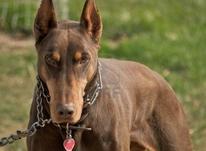 فروش توله سگ دوبرمن بلوطی بی نظیر در شیپور-عکس کوچک