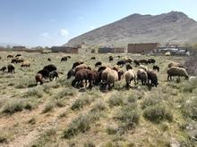 گوسفند  درجه یک   در شیپور