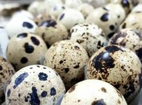 فروش ویژه تخم خوراکی بلدرچین  در شیپور-عکس کوچک
