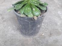ساکولنت ائونیوم در شیپور-عکس کوچک