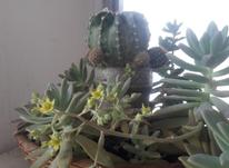 گل کاکتوس سبدی در شیپور-عکس کوچک